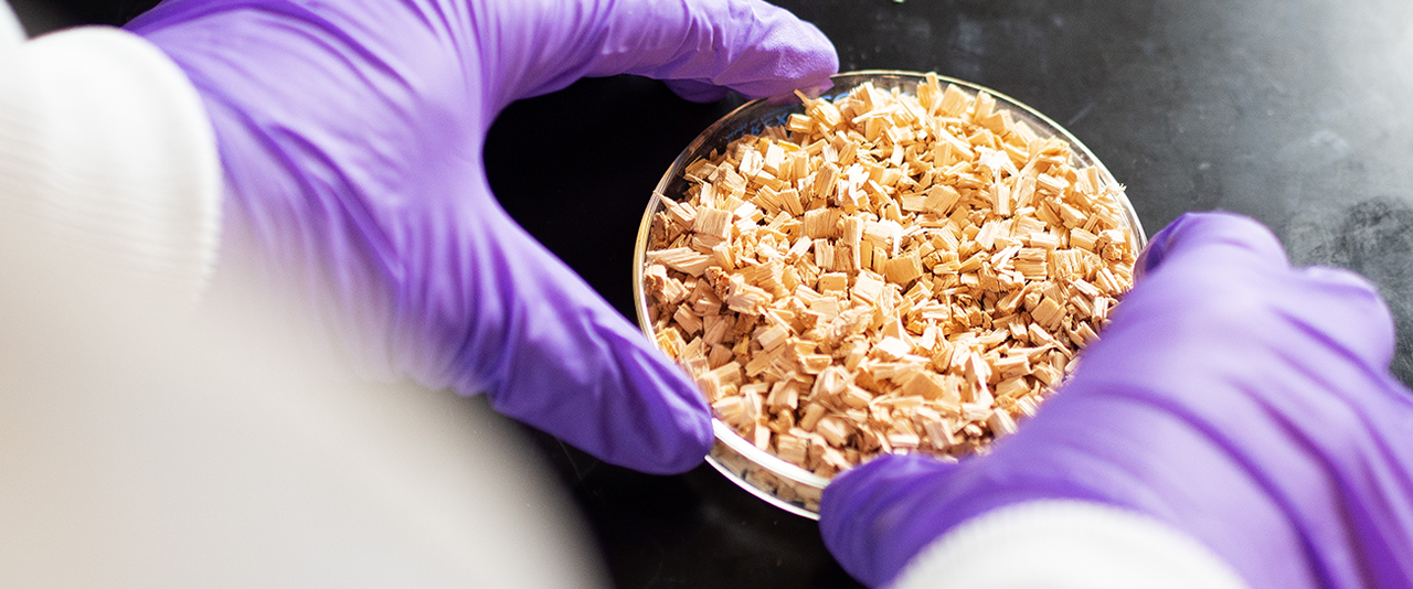 gloved hands hold a Petri dish with wood chips